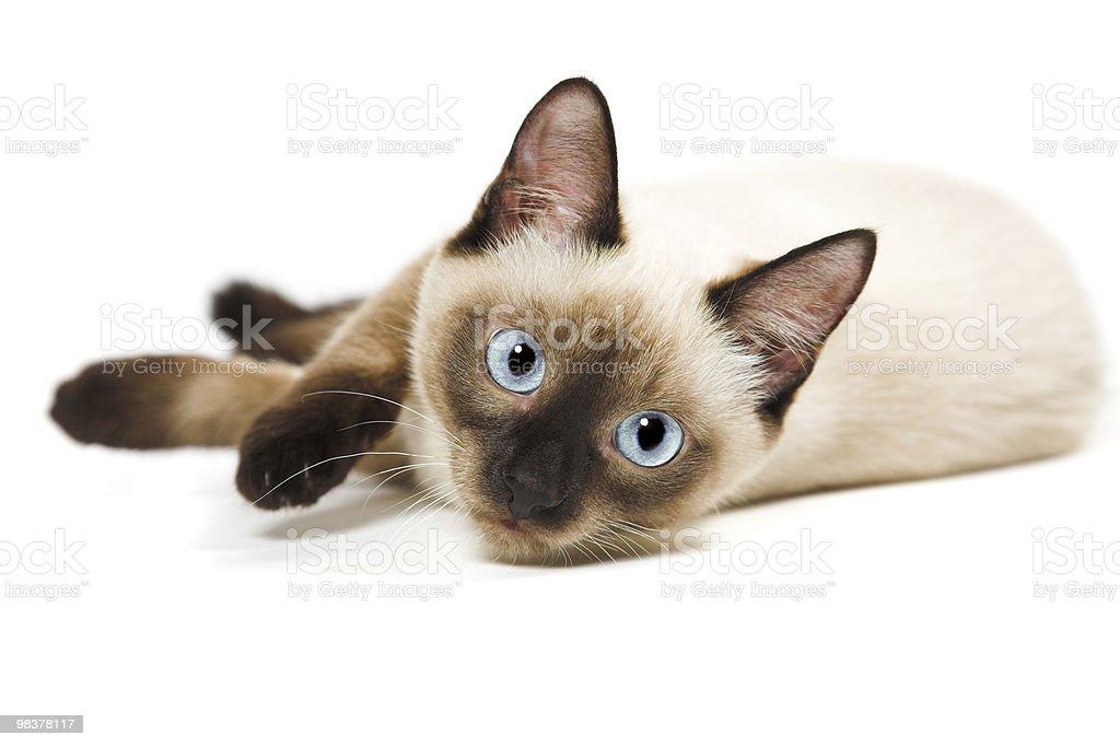 Kot Syjamski Stockowe Zdjęcia I Więcej Obrazów Bez Ludzi Istock