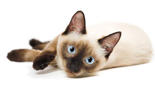 Siamese cat picture id98378117?b=1&k=6&m=98378117&s=612x612&w=0&h=rj 1c6g2xb7qejl7zttl1rw1ervetsw7qx0sxqdbqg0=