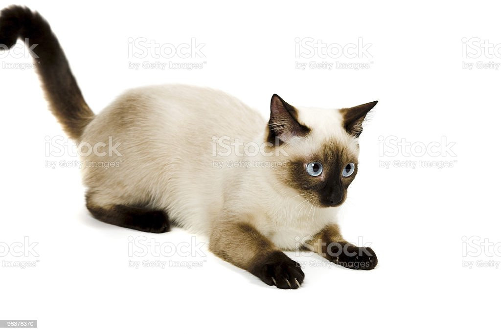 Siamese cat royalty-free stock photo