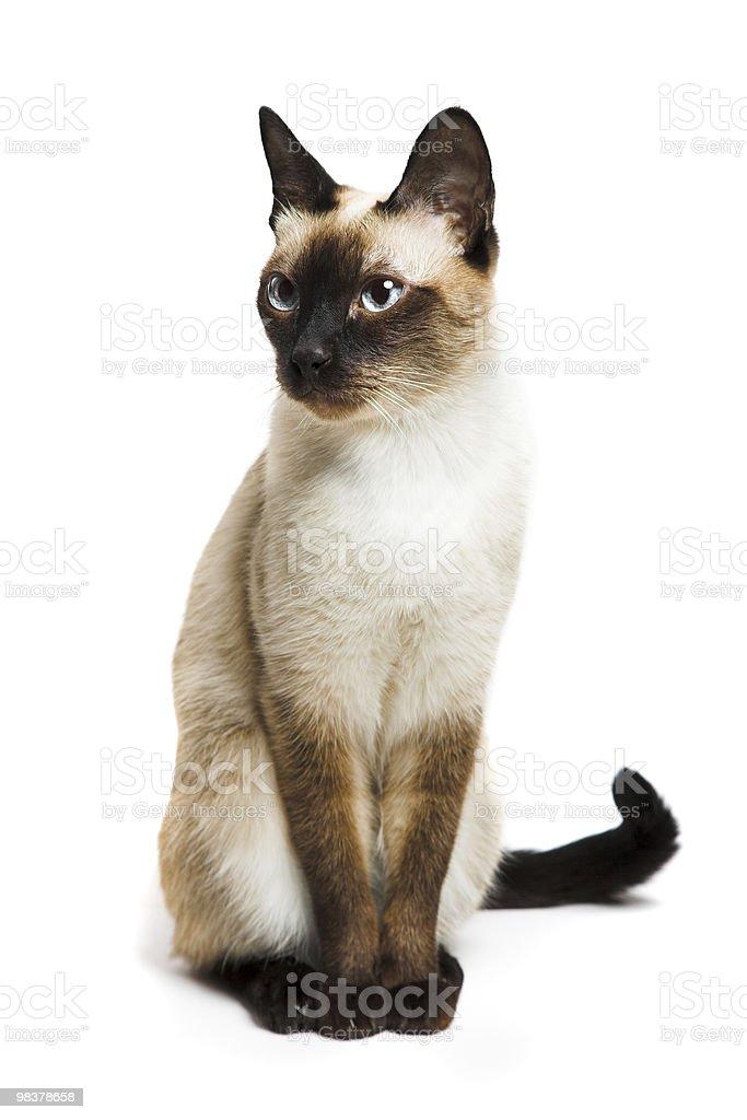 Kot Syjamski Stockowe Zdjęcia I Więcej Obrazów Biały Istock