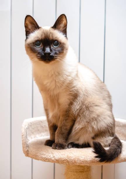 Siamese cat portrait looking at camera picture id1184832603?b=1&k=6&m=1184832603&s=612x612&w=0&h=muir5tyfghxh7d5qx63bmjtnny0zjlwb7njvjk9fosi=