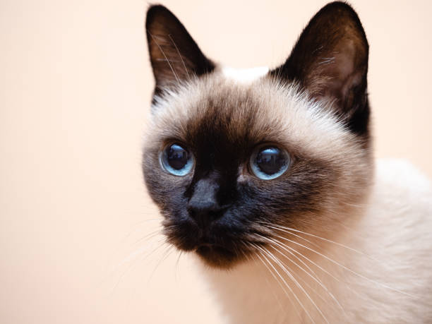 Siamese cat portrait stock photo