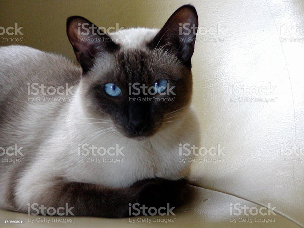 Siamese cat quiet stock photo