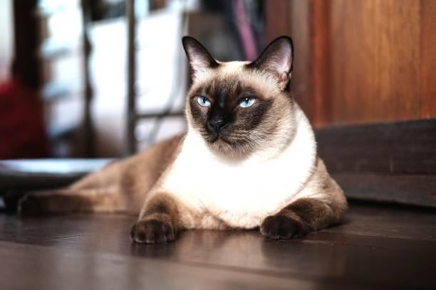 Siamese cat sit on wooden floor at homethai cat lies on wooden floor picture id955506548?b=1&k=6&m=955506548&s=612x612&w=0&h= iqiwd5nrs2esjiyvyjvuzhdtrcr1wlekjhj02oyvx4=
