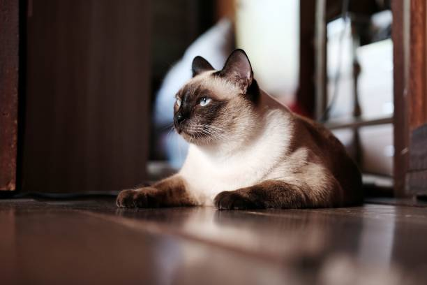 Siamese cat sit on wooden floor at homethai cat lies on wooden floor picture id955506830?b=1&k=6&m=955506830&s=612x612&w=0&h= 3uka8i5gmm1tzfyhdpp9hliaaecf3gnfqab9vcbft0=