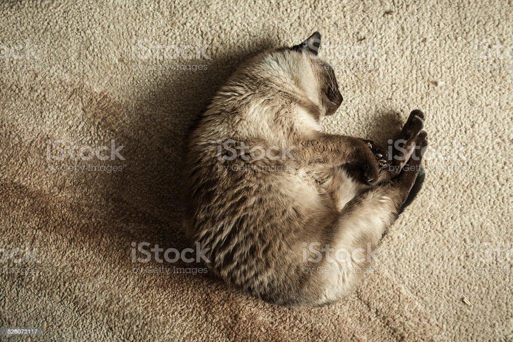 Siamese cat sleeping on floor stock photo