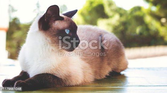 Siamese cat sunbathing at house balcony