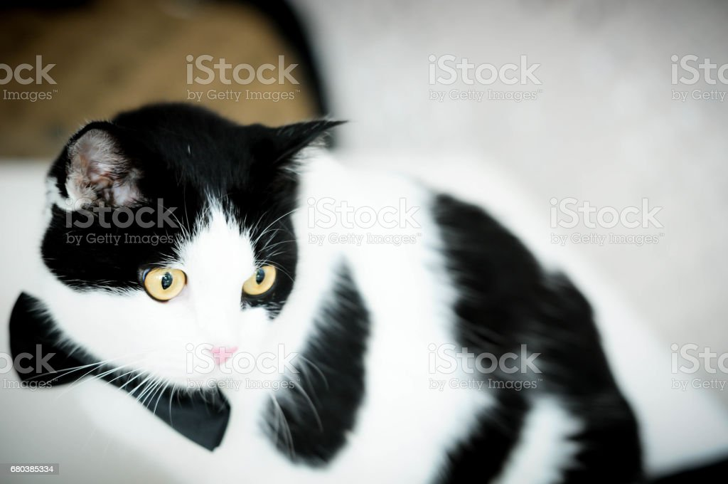 Siamese cat, Thai cat, pet in house, cats in cafe royalty-free stock photo