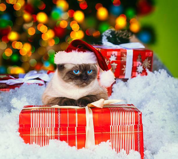 Siamese cat wearing santa hat picture id529003277?b=1&k=6&m=529003277&s=612x612&w=0&h=xcik68uezdjfe9vfio5dv1lgxde3tlwgmev pwaqz80=