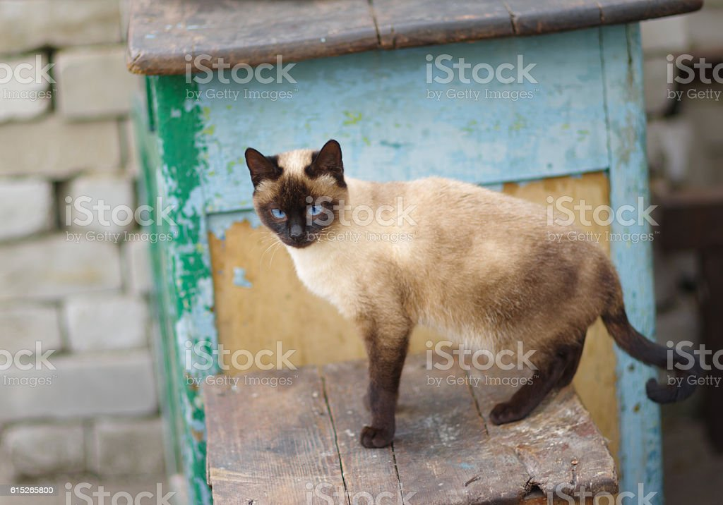 Siamese cat with blue eyes on an old stool stock photo