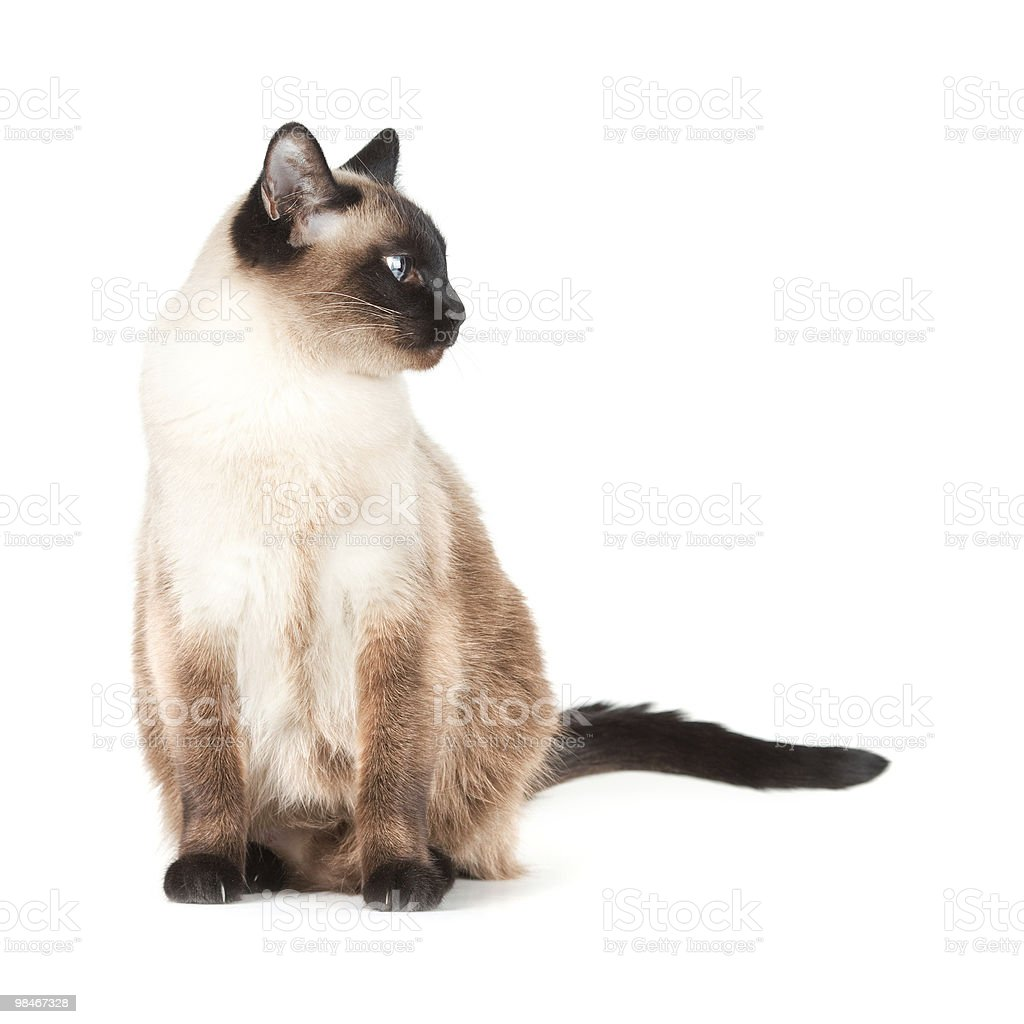 Siamese cat with blue eyes royalty-free stock photo