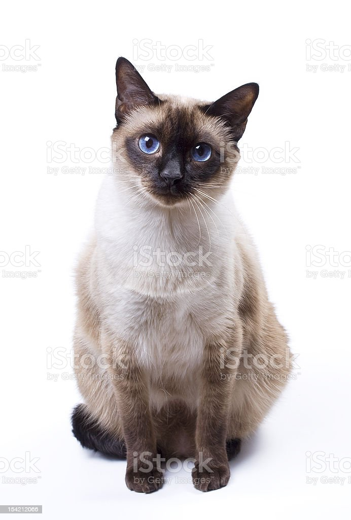 A Siamese cat with blue eyes set against a white background  stock photo