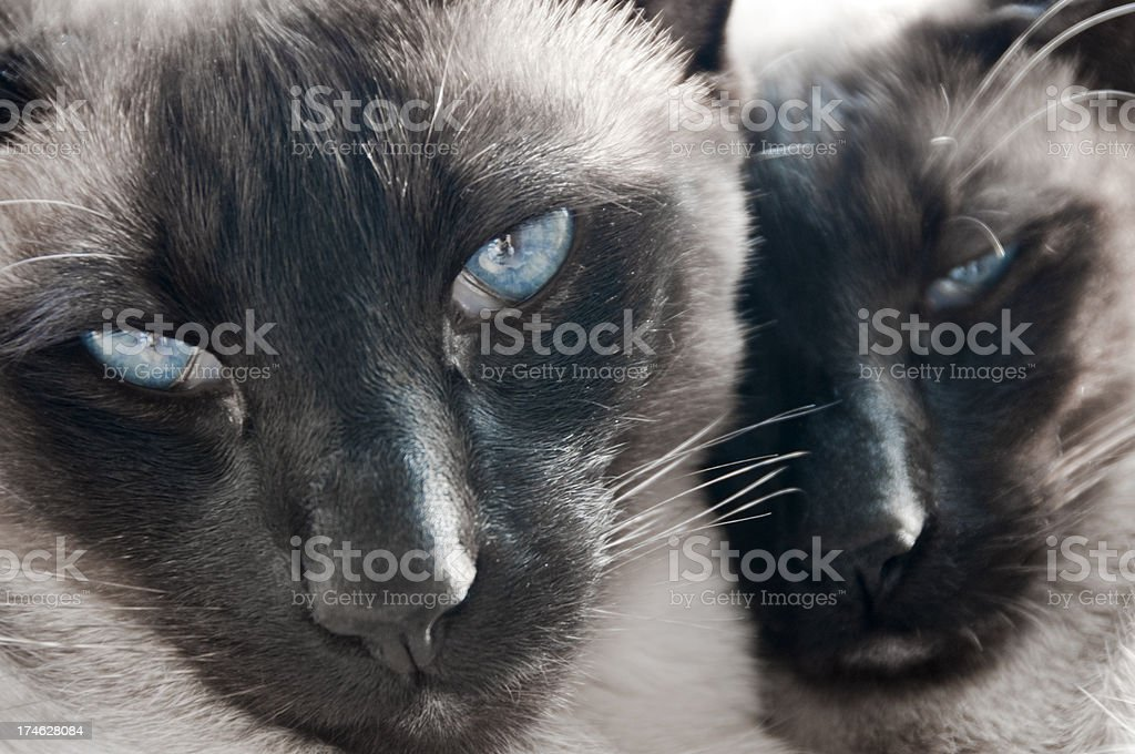 Siamese Cats royalty-free stock photo