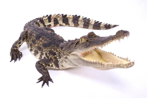 crocodile du Siam (Crocodylus siamensis) - Photo