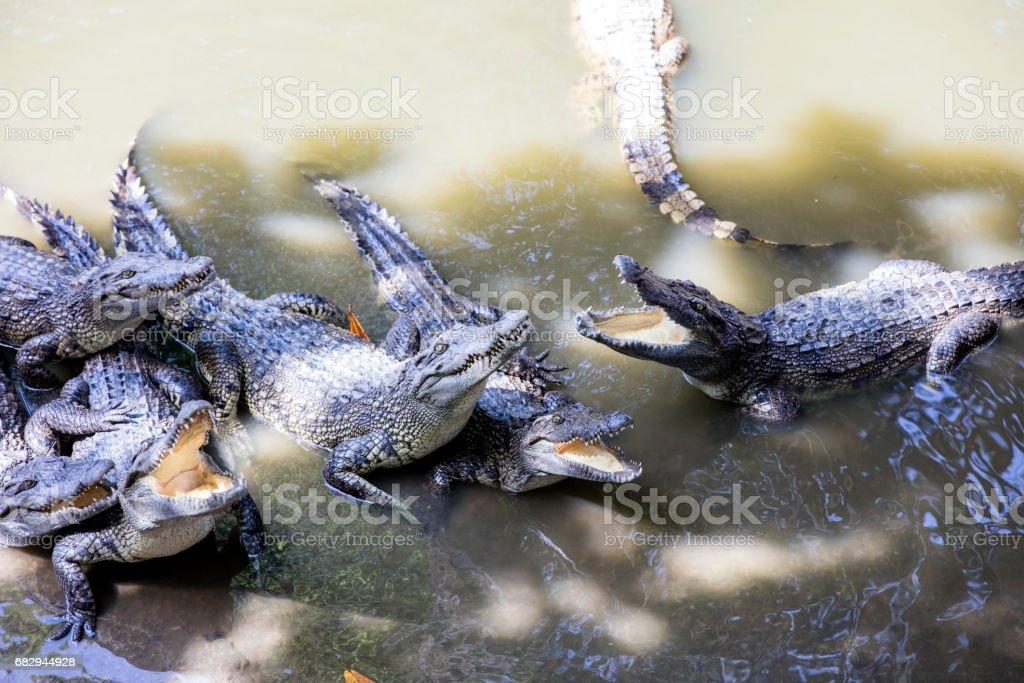 Siamese crocodiles Mekong delta in Vietnam royalty-free stock photo