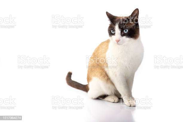 Siamese cross cat and ragdoll sitting on white background picture id1217364274?b=1&k=6&m=1217364274&s=612x612&h=s7trtghfcjulkovauryejec384g1vllpx4gjvkba t8=