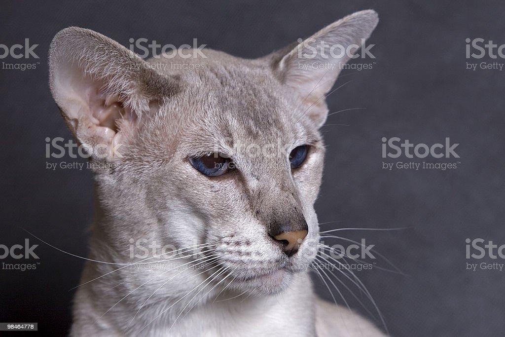 Siamese face royalty-free stock photo