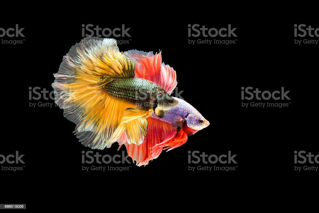Siamois fighting fish (poisson Betta) agissant togther sur blackground. photo libre de droits