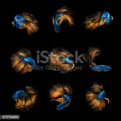 istock Siamese fighting fish art collection 673794634