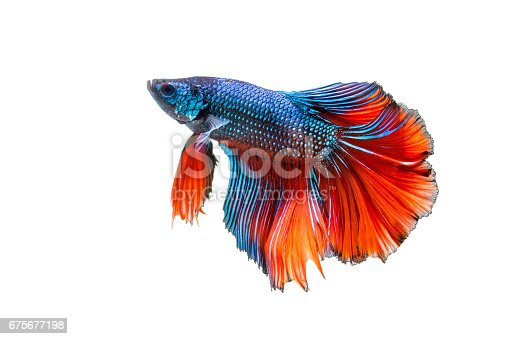 istock siamese fighting fish, Betta fish 675677198
