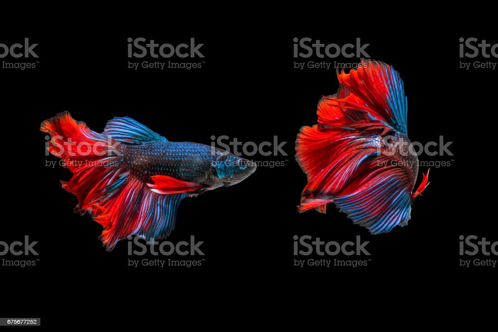 siamese fighting fish, Betta fish royalty-free stock photo