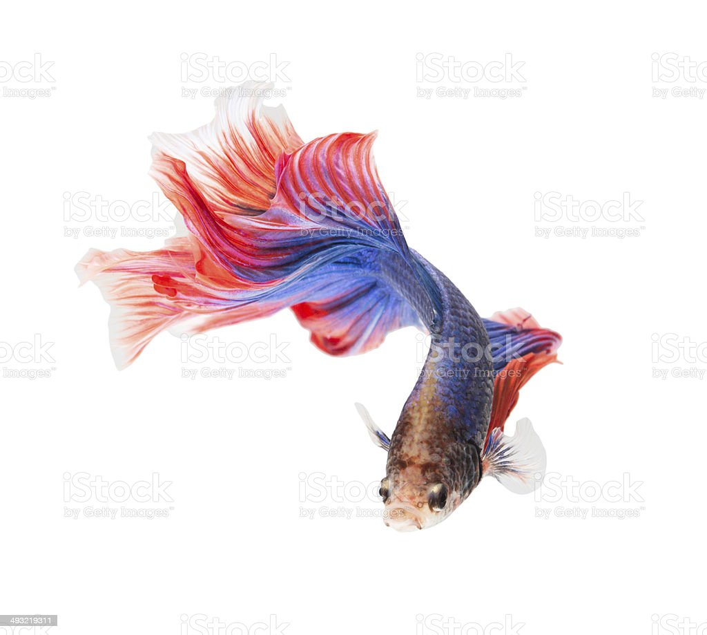 siamese fighting fish , betta stock photo