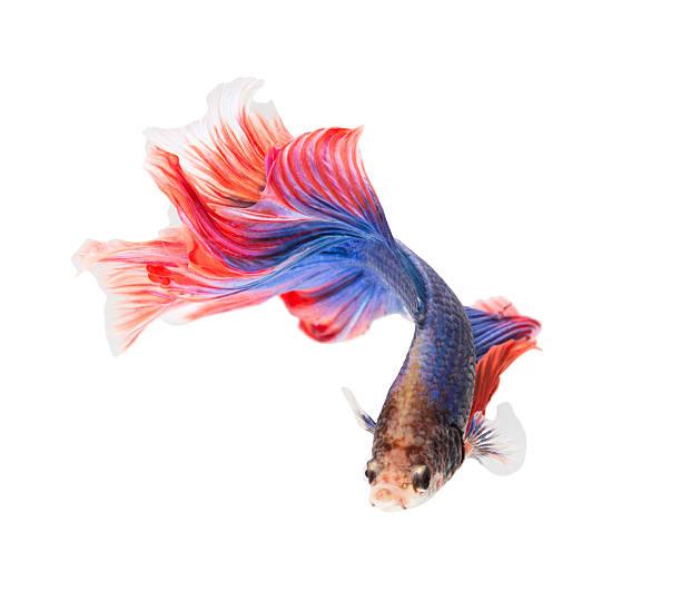 siamese fighting fish , betta stock photo