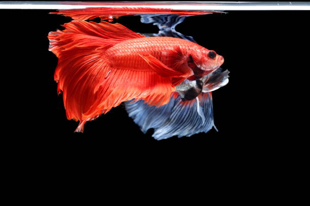 Siamese fighting fish betta splendens colorful fish on a black picture id1159746327?b=1&k=6&m=1159746327&s=612x612&w=0&h=xzm8 twwtbd7elhri15n4gpyzp0uoocu2iwugq9qwfg=