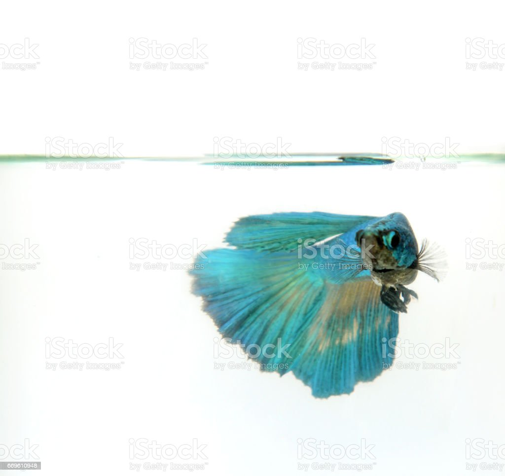siamese fighting fish, betta splendens, Half Moon Betta swimming in clear water stock photo