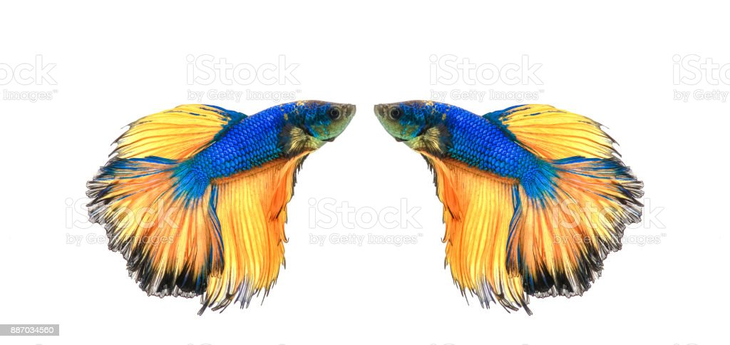 siamese fighting fish, betta splendens isolated on white background stock photo