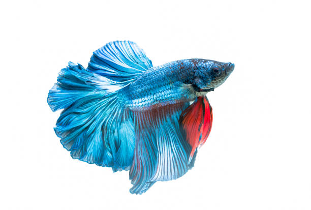 siamese fighting fish, betta splendens isolated stock photo