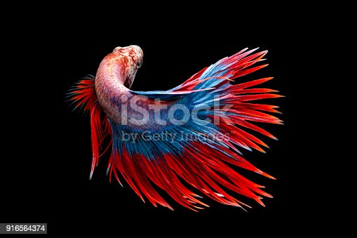 istock Siamese fighting fish, Betta splendens, Thailand blur 916564374