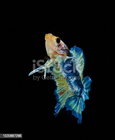 istock Siamese fighting fish fight blue fish, Betta splendens, Betta fish, Halfmoon Betta. 1020887266