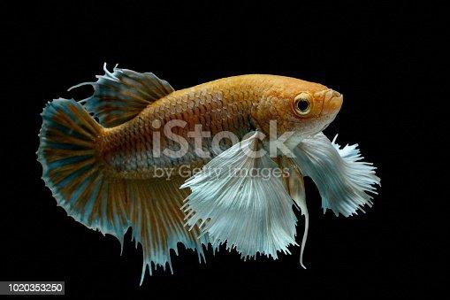 istock Siamese fighting fish fight yellow fish, Betta splendens, Betta fish, Halfmoon Betta. 1020353250