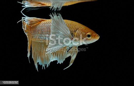 istock Siamese fighting fish fight yellow fish, Betta splendens, Betta fish, Halfmoon Betta. 1020353252
