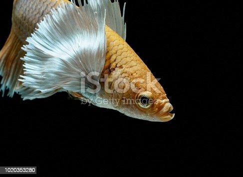 istock Siamese fighting fish fight yellow fish, Betta splendens, Betta fish, Halfmoon Betta. 1020353280