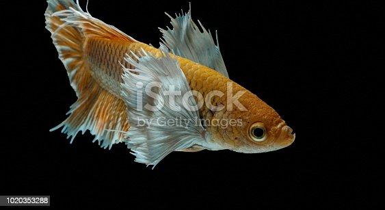 istock Siamese fighting fish fight yellow fish, Betta splendens, Betta fish, Halfmoon Betta. 1020353288