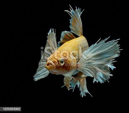 istock Siamese fighting fish fight yellow fish, Betta splendens, Betta fish, Halfmoon Betta. 1020353302
