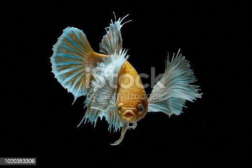 istock Siamese fighting fish fight yellow fish, Betta splendens, Betta fish, Halfmoon Betta. 1020353306