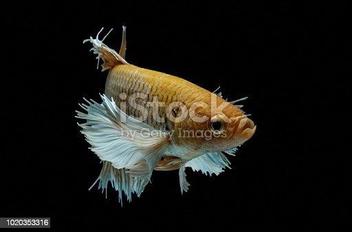 istock Siamese fighting fish fight yellow fish, Betta splendens, Betta fish, Halfmoon Betta. 1020353316