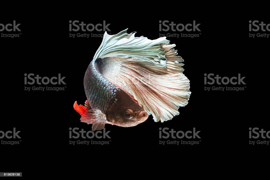 Siamese fighting fish isolated in black background. Betta Splendens stock photo