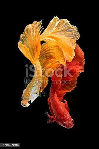 istock Siamese fighting fish isolated on black background 873425884
