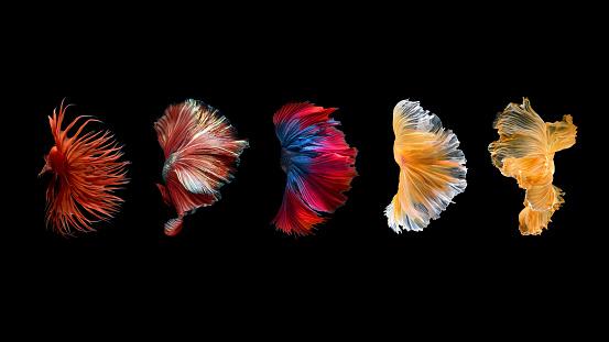 Close up art movement of Betta fish,Siamese fighting fish isolated on black background.Fine art design concept.