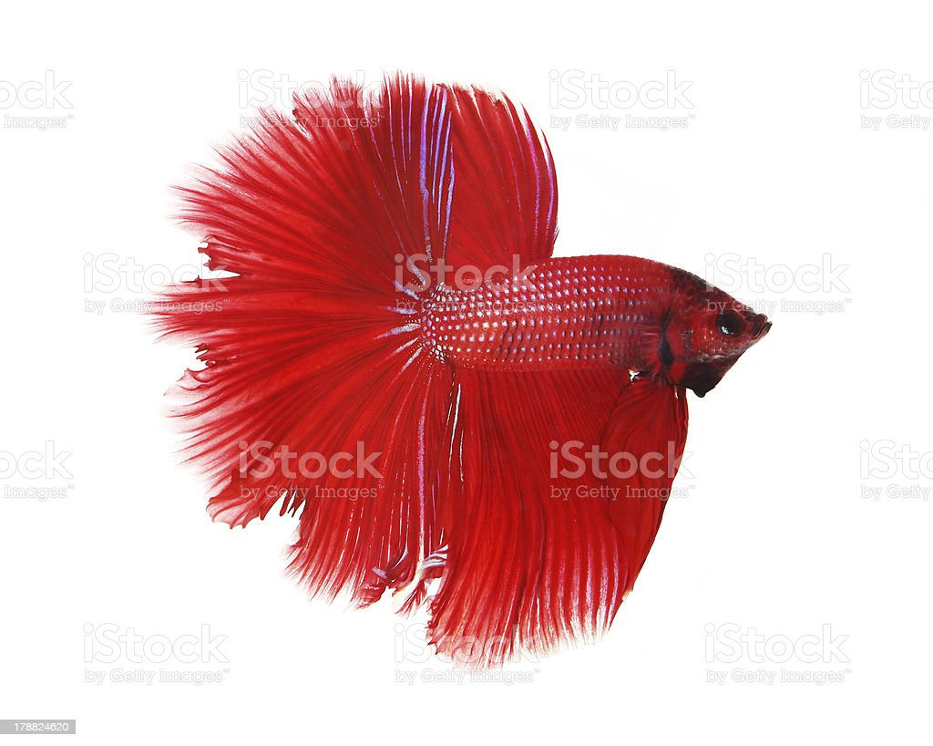 Siamese fighting fish isolated on white background, Half Moon stock photo