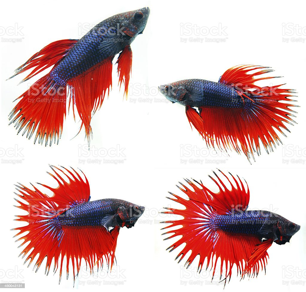 Siamese fighting fish, isolated on white royalty-free stock photo