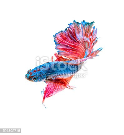 istock Siamese fighting fish isolated 521802716