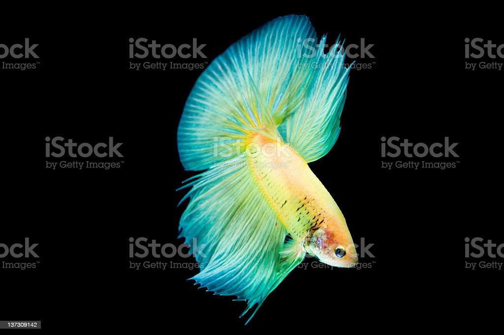 Siamese Fighting fish royalty-free stock photo