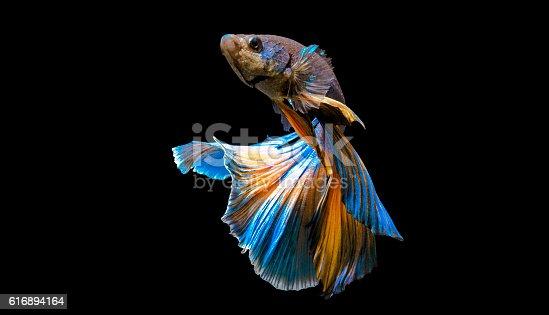 istock Siamese fighting fish 616894164