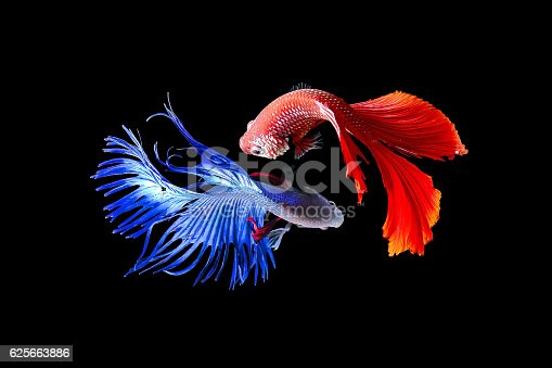 istock Siamese fighting fish 625663886