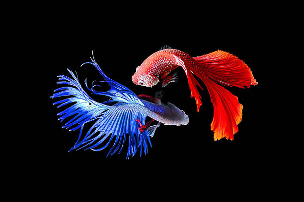 siamese fighting fish - perpetual motion stock photos and pictures